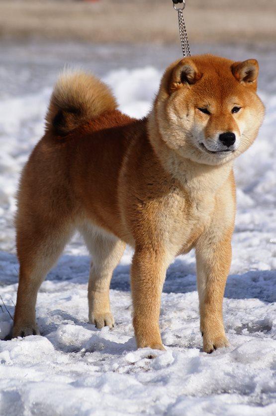 Сиба собака