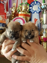 BIS & Rini щенки_1